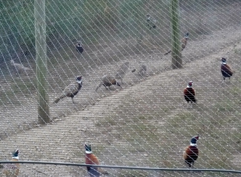 Pheasants humanely treated in pens.